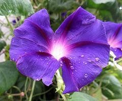 Wilec - Ipomoea purpurea