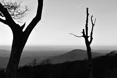 The Ghost Trees of Shenandoah