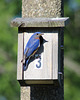 Monsieur  / Mr Bluebird