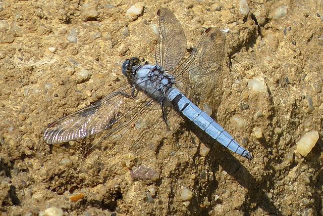 Libellen Südlicher Blaupfeil 28.6.2015