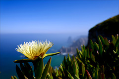 Carpobrotus edulis, Chorão, Cabo da Roca