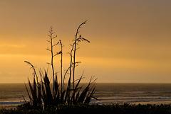 Beach Flax