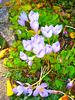 005  Herbstkrokusse (Crocus speciosus)
