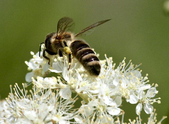 Noch gibt es Bienen......