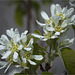 A white blooming shrub