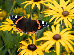 Red Admiral on Rudbeckia.