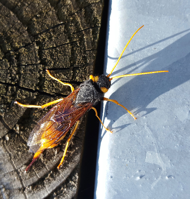 Great Wood Wasp