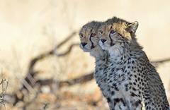 Les jeunes guépards