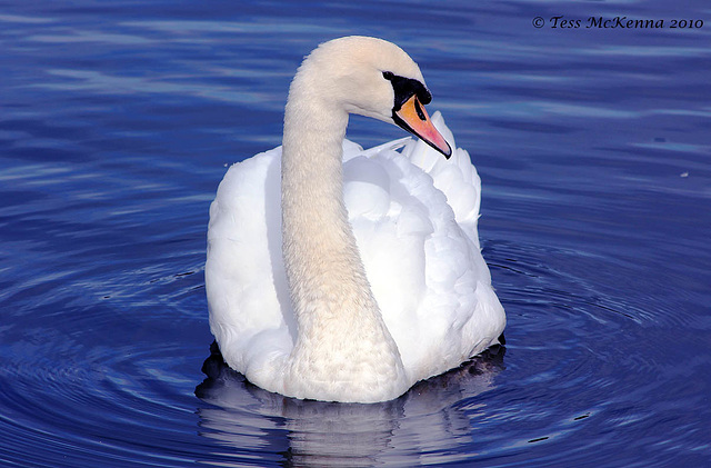 Graceful Swan  0009