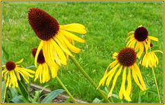 Helianthus salicifolius -Table Mountan - Weidenblättrige Sonnenblume