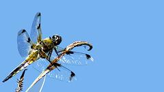 Vierfleck Libelle. 1 -1,778
