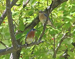 M. et Mme Merlebleu / Mr and Ms Bluebird