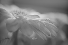 Fleur de Joie IMGP2076