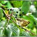 Forest leaf warbler.   ©UdoSm