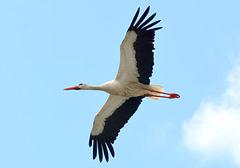 Storch im Gleitflug