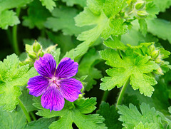 Purple Cranesbill