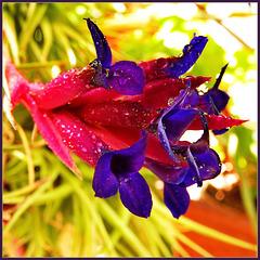 Tillandsia aerantos : la pianta dell'aria - (895)