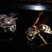 Große Holzbiene und Wespe