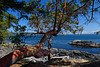 Seaside Arbutus Tree