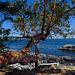 Seaside Arbutus Tree