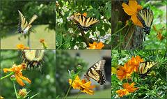 Eastern TigerSwallowtail ..