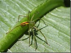 Micrommata virescens mâle.