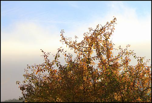Prunellier -parure automnale (2)