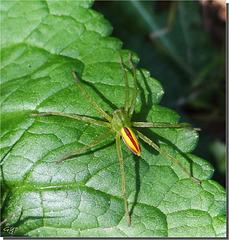Micrommata virescens mâle