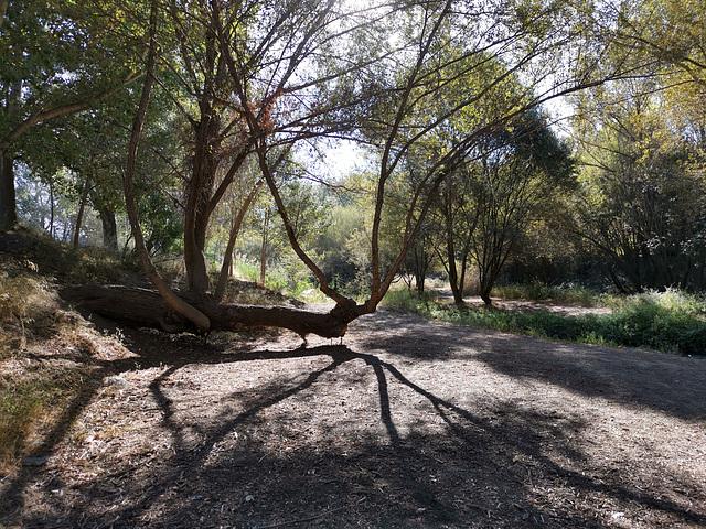 Se levantan las ramas del tronco arrastrado !