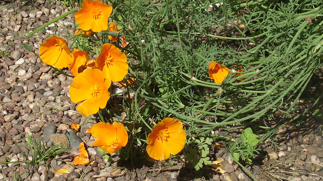 These poppies keep coming and coming