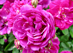 Bright Roses.