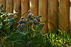 Borretsch in meinem Garten