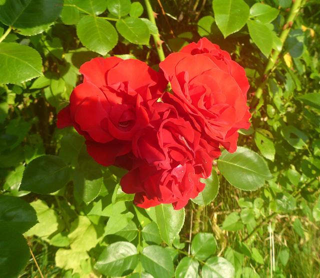 Herz aus Rosen - koro el rozoj