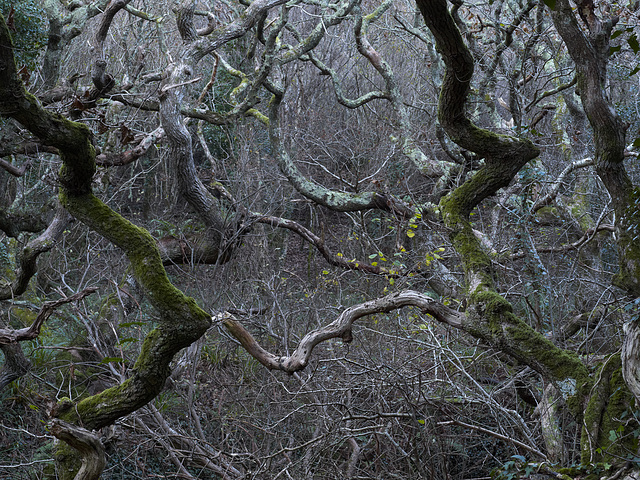 Cornwall - Dancing trees