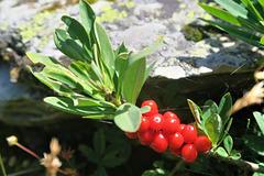Daphné bois-gentil, aussi appelé bois-joli, Valais (Suisse)