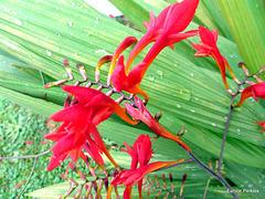 Montbretia (rocosmia × crocosmiiflora)