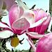 Magnificent Magnolia.