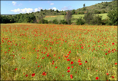 Cornfield  with poppies.