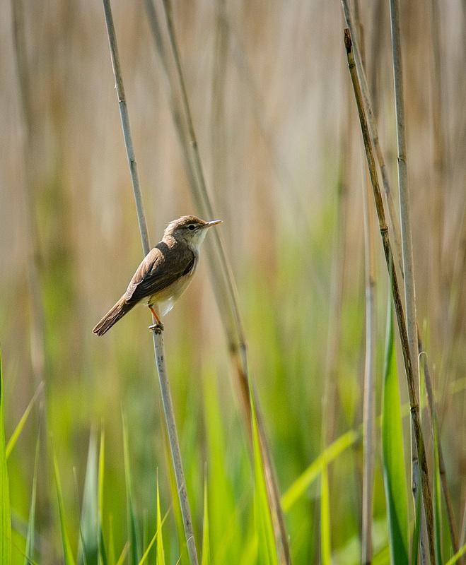 Reed warbler16
