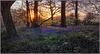 Cowleaze Wood Bluebells