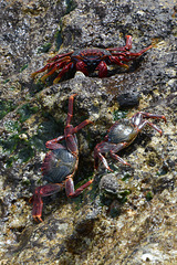 Azores, Red Crabs on the Islet of Vila Franca do Campo