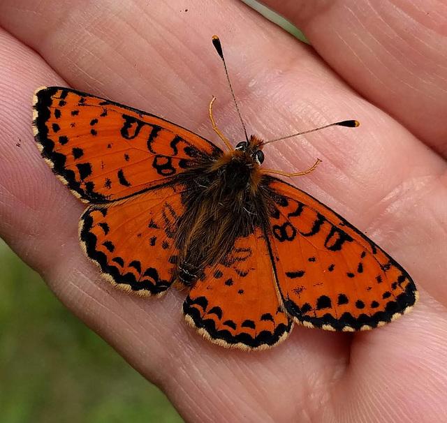 Le bel orangé / Beautiful orange butterfly