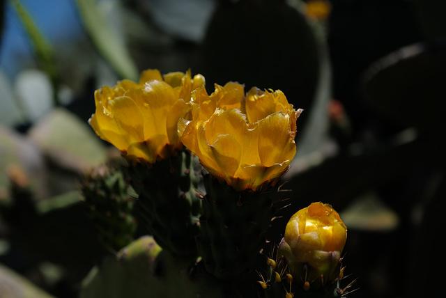 Ficus opuntia