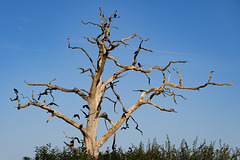 Tree and Crows