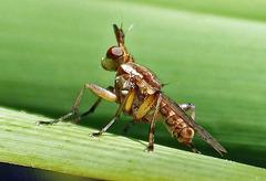 Dichetophora species (Marsh Flies)