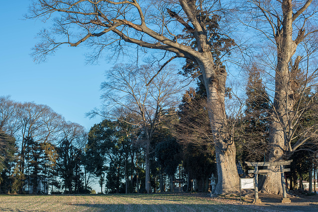 Grove of the shrine