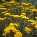 Helichrysum italicum subsp. picardi, Asterales