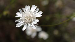 Pycnocomon rutifolium, Dipsacales