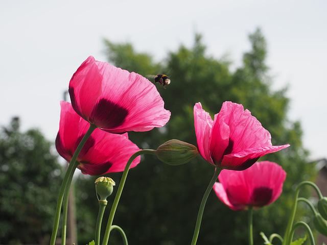Huge Poppies