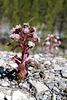 Petasites paradoxus, Asteraceae
